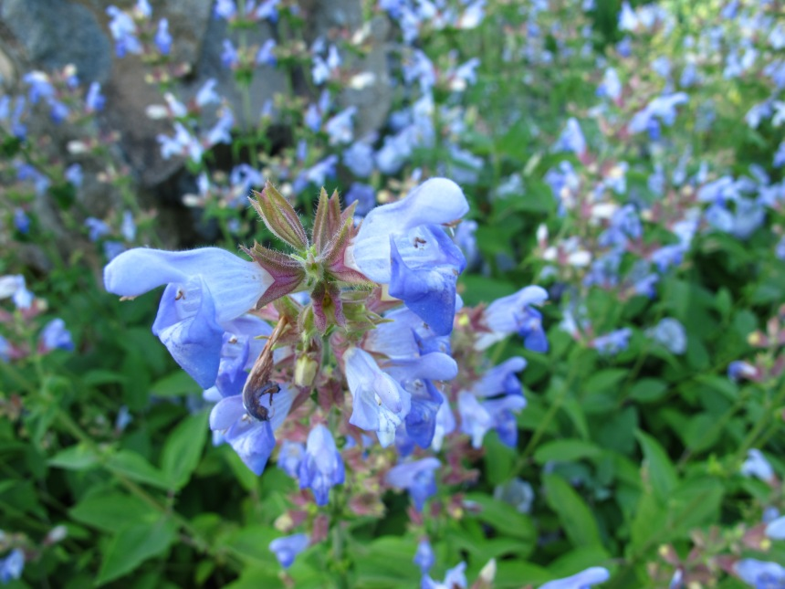 Salvia tomentosa (8)