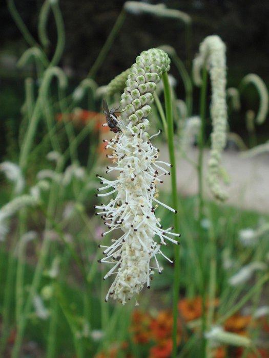 Sanguisorba tenuifolia 'Alba' fleur