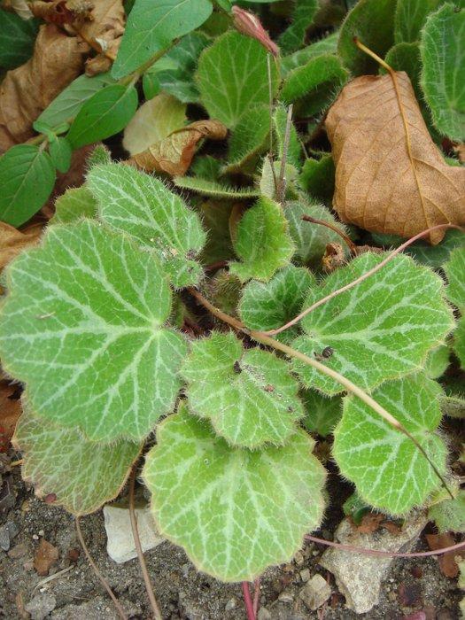 Saxifraga stolonifera 'Tricolor' feuille (2)