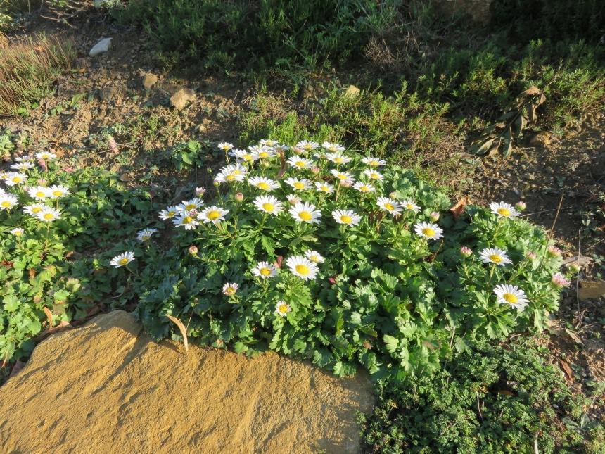 Arctanthemum arcticum2