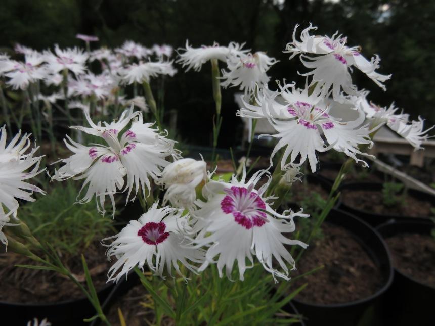 Dianthus spiculifolius (2)